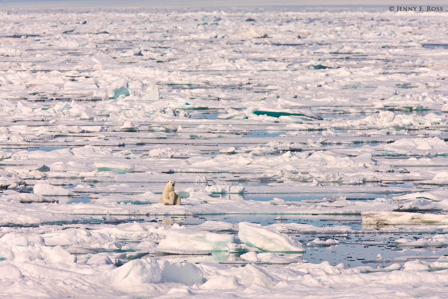 Adult polar bear (Ursus maritimus) resting on sea ice