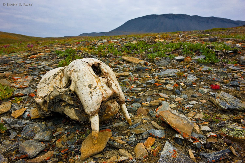Pacific Walrus (Odobenus rosmarus divergens) skull, Wrangel Island, Russia