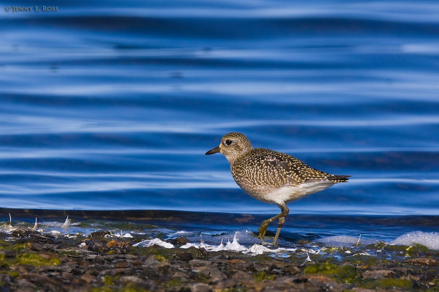 A black-bellied plover (Pluvialis squatarola, aka grey plover) foraging along the edge of a small lake on Wrangel Island in the East Siberian Sea (Arctic Ocean), Russia.