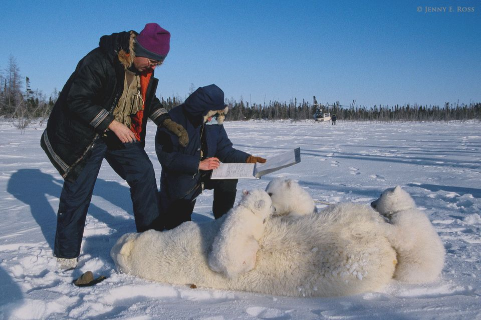 Polar bear research, Western Hudson Bay, Manitoba, Canada.