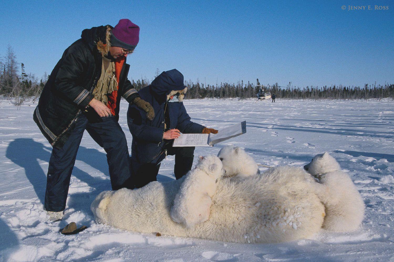 Polar bear research, Western Hudson Bay, Manitoba, Canada.