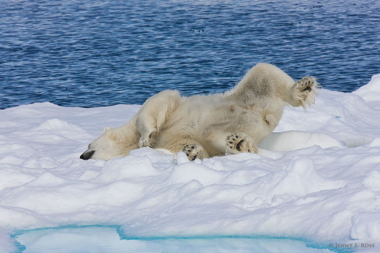 A subadult male polar bear (Ursus maritimus) vigorously rubs himself against the snowy sea ice to clean his fur.