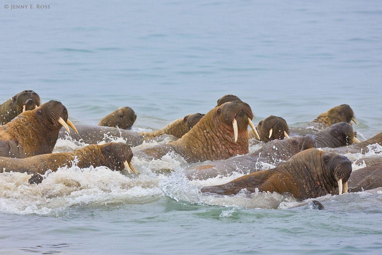 Atlantic Walruses (Odobenus rosmarus rosmarus)  swimming as a herd in northern Novaya Zemlya, where the Barents Sea and Kara Sea meet, in the Russian High Arctic.