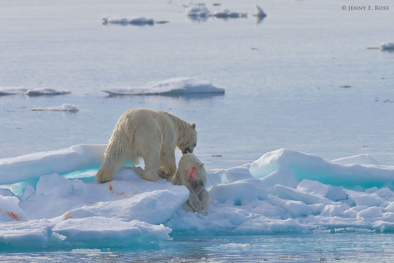 Polar bear infanticide & cannibalism on sea ice, Barents Sea, Svalbard Archipelgo, Norway.