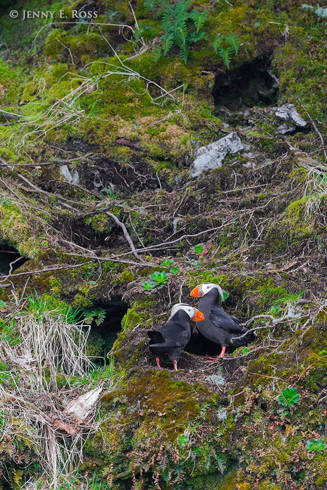 1jeross_arcticbirds_039.jpg