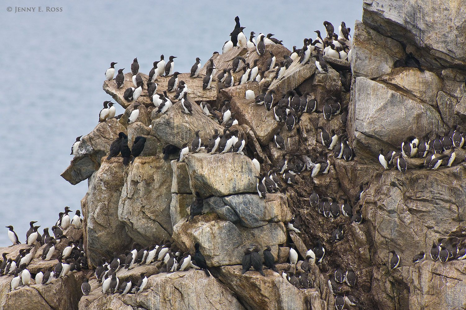 Common Guillemots (Uria aalge), aka Common Murre, Brunnich's Guillemots (Uria lomvia arra), aka Thick-billed Murre, and Pelagic Cormorants (Phalacrocorax pelagicus) in a seabird colony.