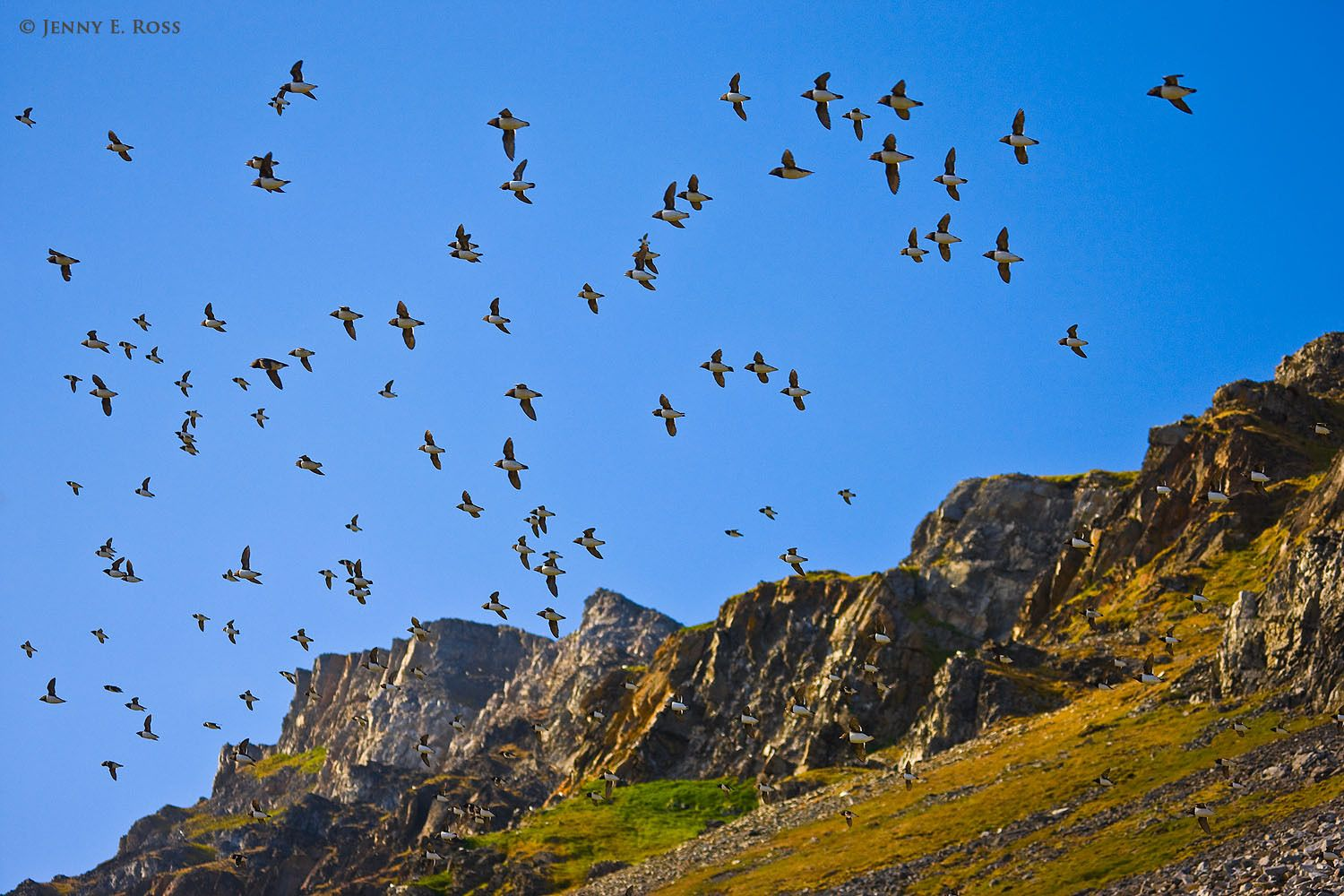 Little Auks (Alle alle) flying to and from their nesting colony on the scree slopes at Ingeborgfjellet in Volbukta, Bellsund, Spitsbergen. Svalbard Archipelago, Norway.