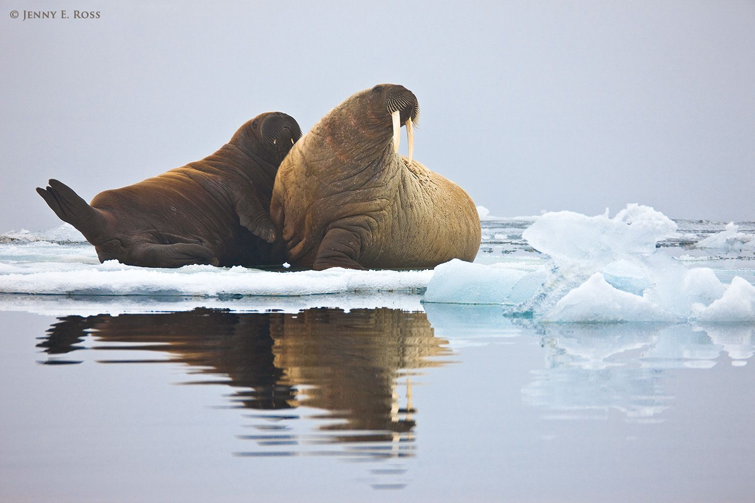 Atlantic Walrus mother & calf on sea ice,  Franz Josef Land, Russia
