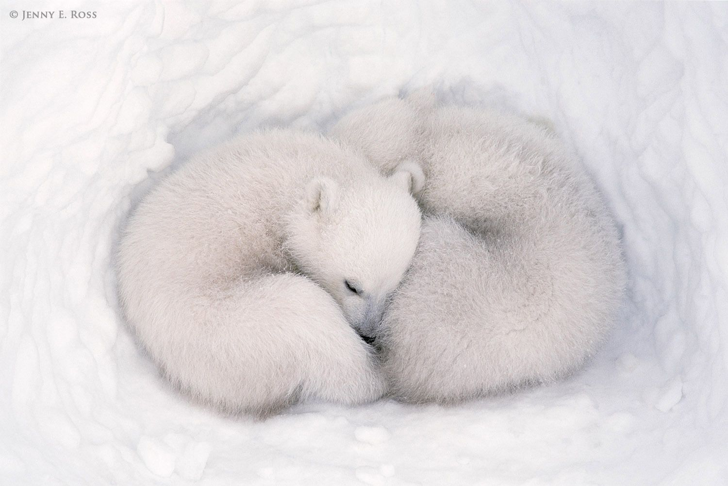 Twin polar bear cubs, about three months old, inside a snow den.