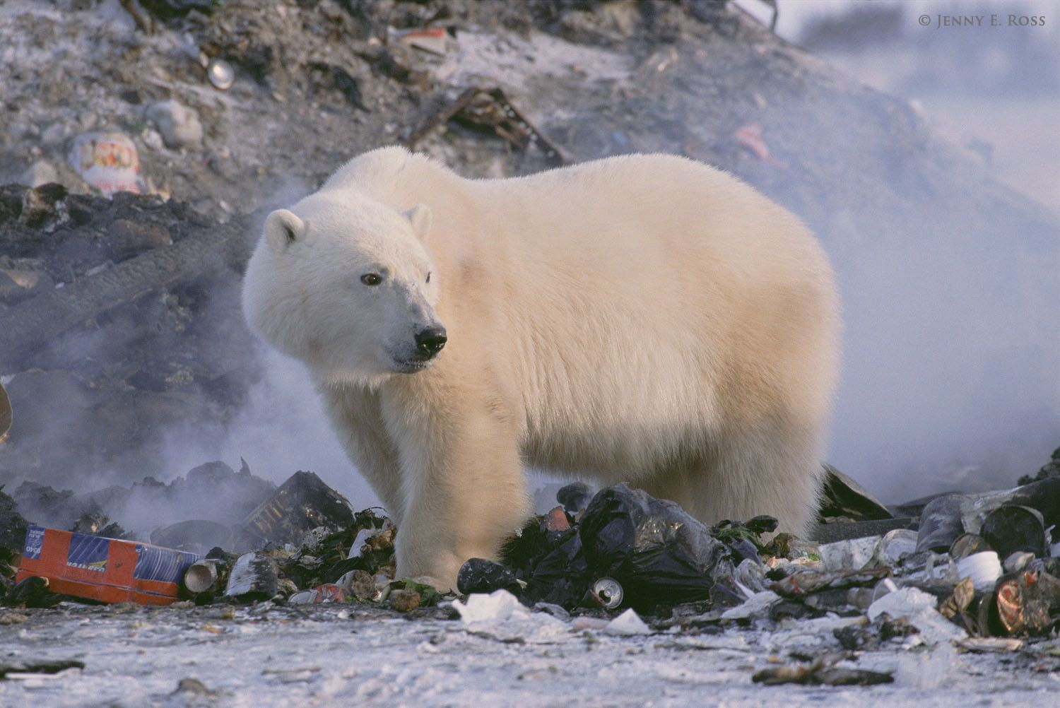 Stranded on land and unable to hunt seals due to a lack of sea ice, a polar bear forages for something to eat in a garbage dump.
