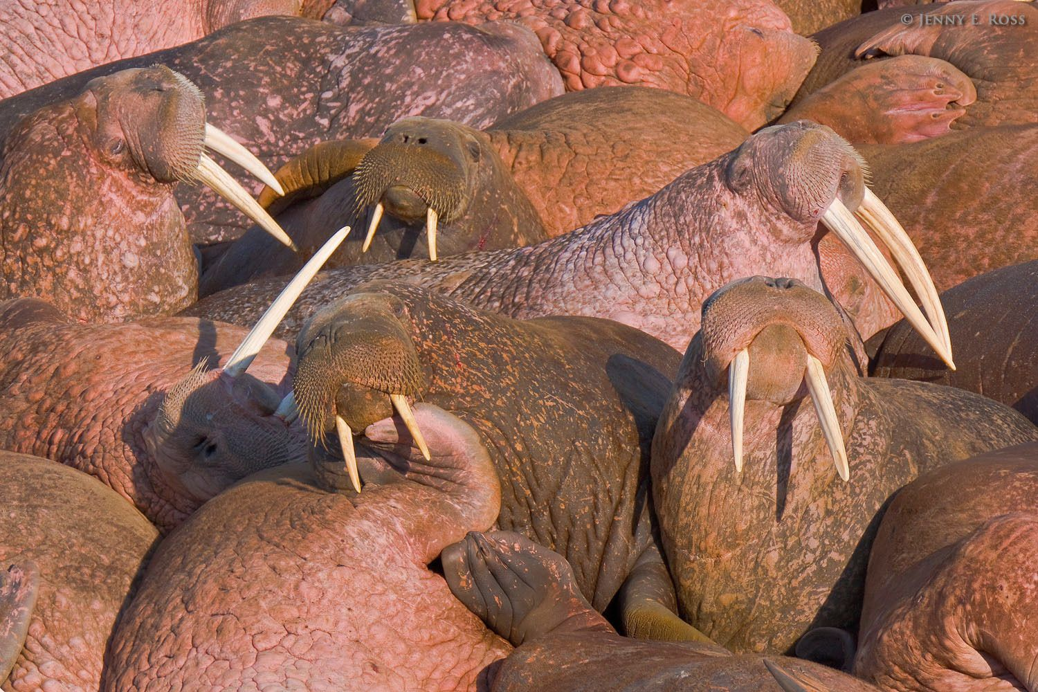 Pacific walruses (Odobenus rosmarus divergens) maneuver for position at a small crowded haul-out on Arakamchechen Island in the Bering Sea, Chukotka, Russia.