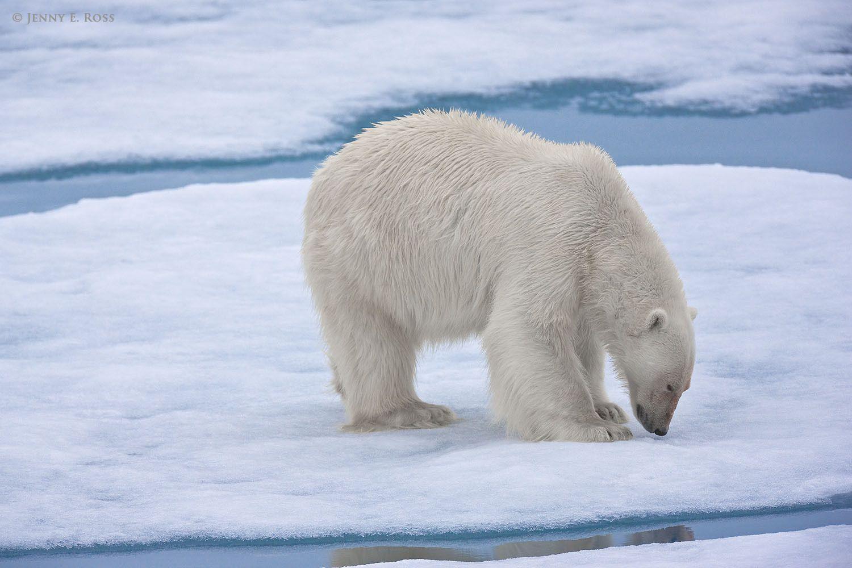Bear ass cheek on twitter