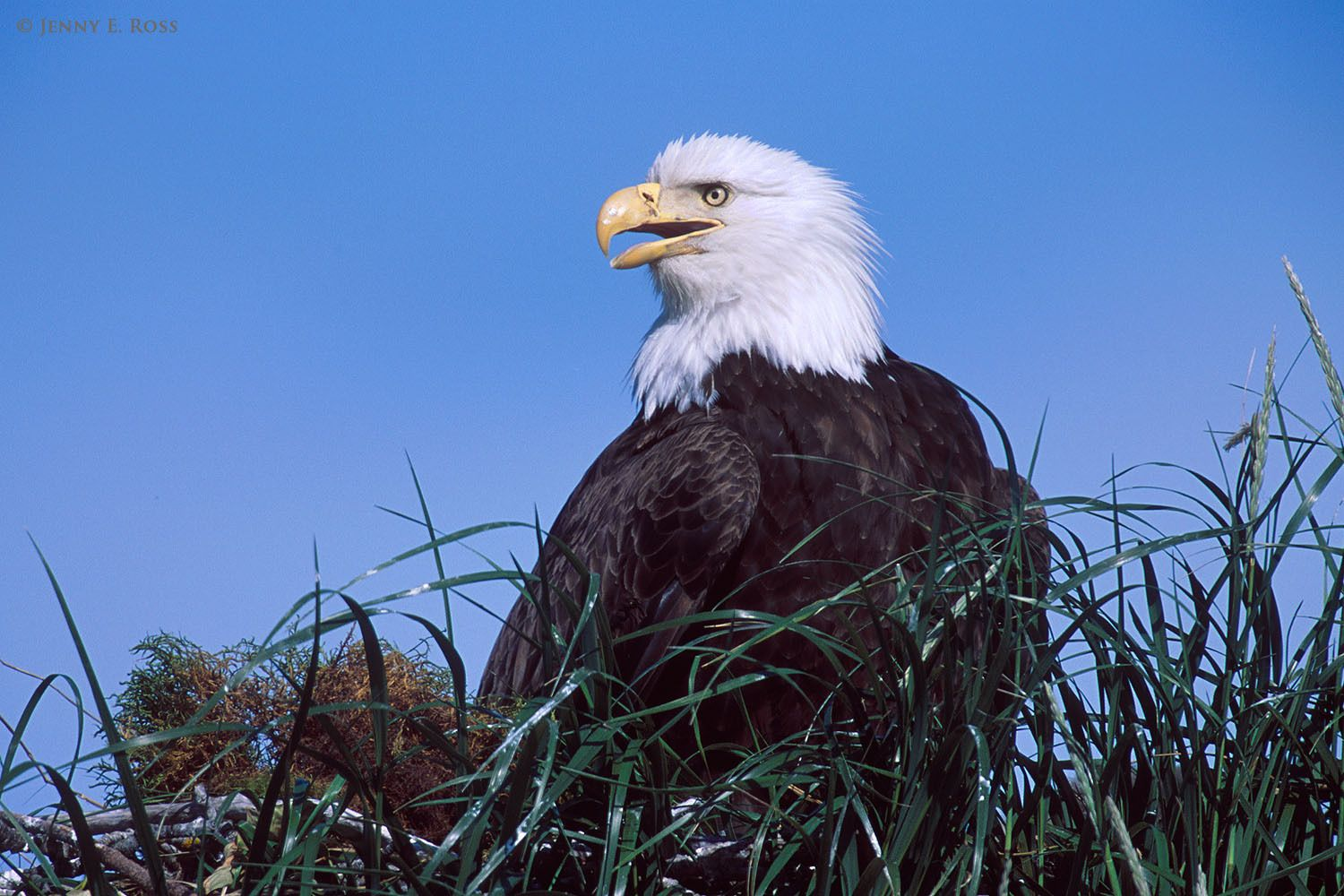 An adult bald eagle (Haliaeetus leucocephalus) on its nest in Alaska. This species breeds in some Arctic and sub-Arctic regions of Alaska and western Canada.