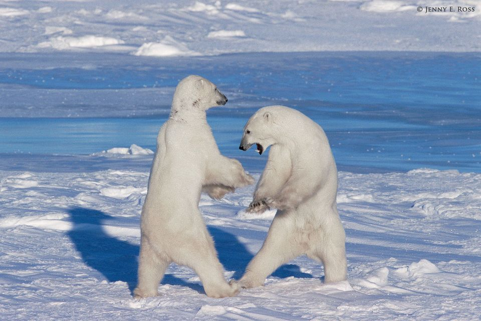 Adult male polar bears (Ursus maritimus) play-fighting on sea ice.