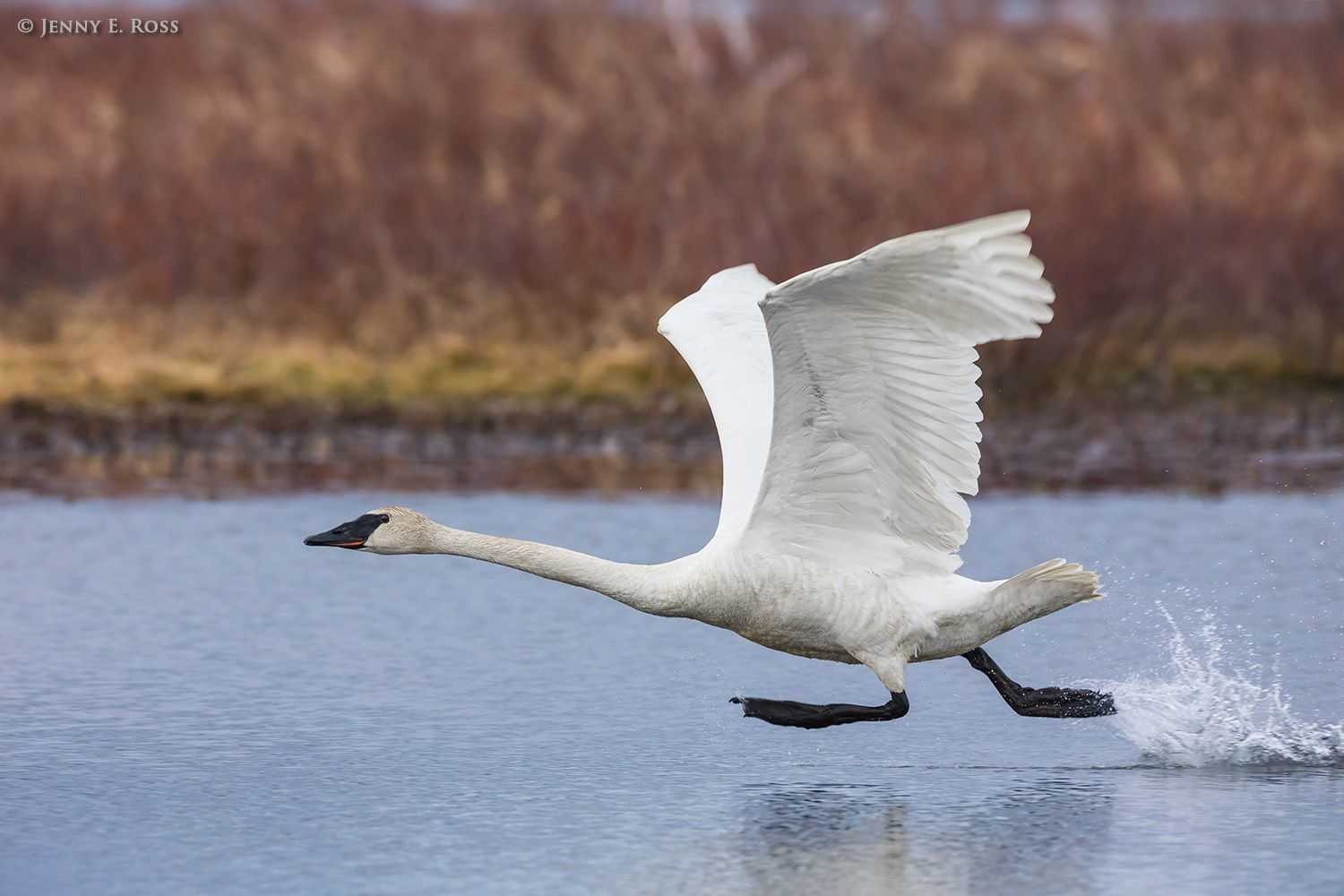 An adult Trumpeter Swan (Cygnus buccinator) runs across the water before lifting into flight in the Copper River Delta.