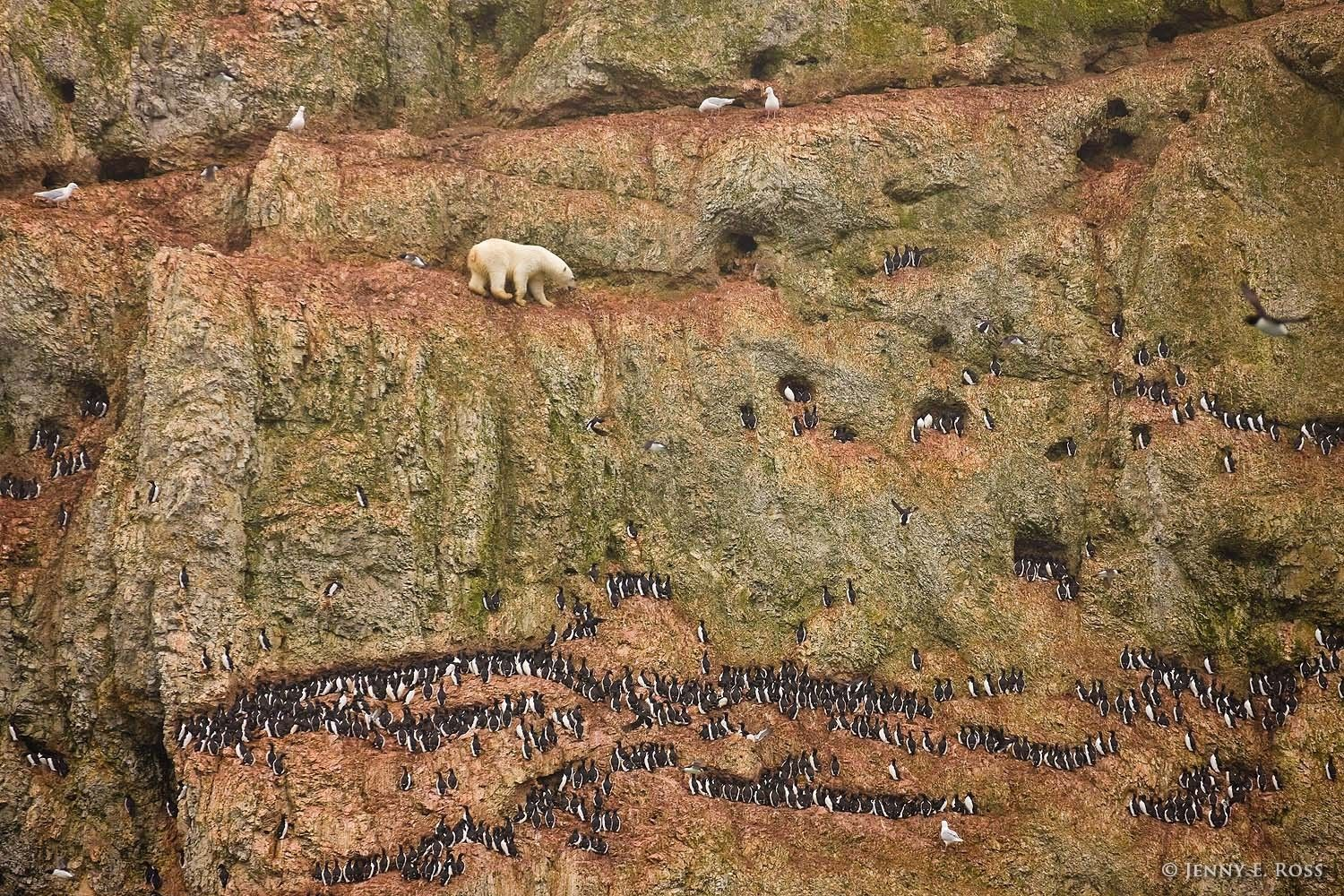 A subadult male polar bear (Ursus maritimus) climbs precariously on the face of a cliff above the ocean in the Russian Arctic, attempting unsuccessfully to feed on seabird eggs. The hungry bear was stranded on land due to a lack of sea ice.