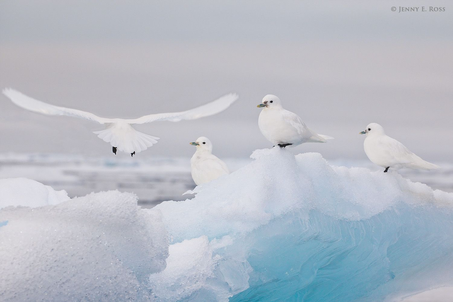 Ivory Gulls (Pagophila eburnea) resting on sea ice in the Arctic Ocean north of Svalbard, above 81-degrees North.