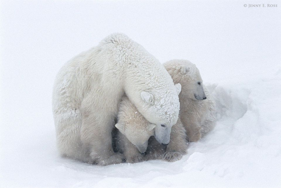 Polar bear mother sheltering her twin cubs during a snowstorm.