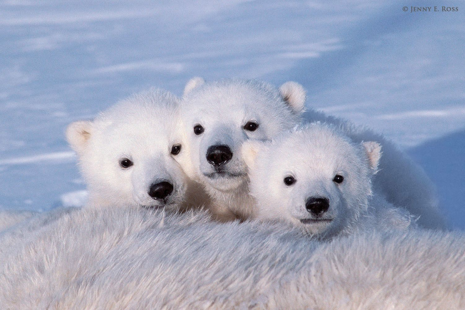 Polar bear (Ursus maritimus) triplet cubs, about 3 months old, next to their mother.