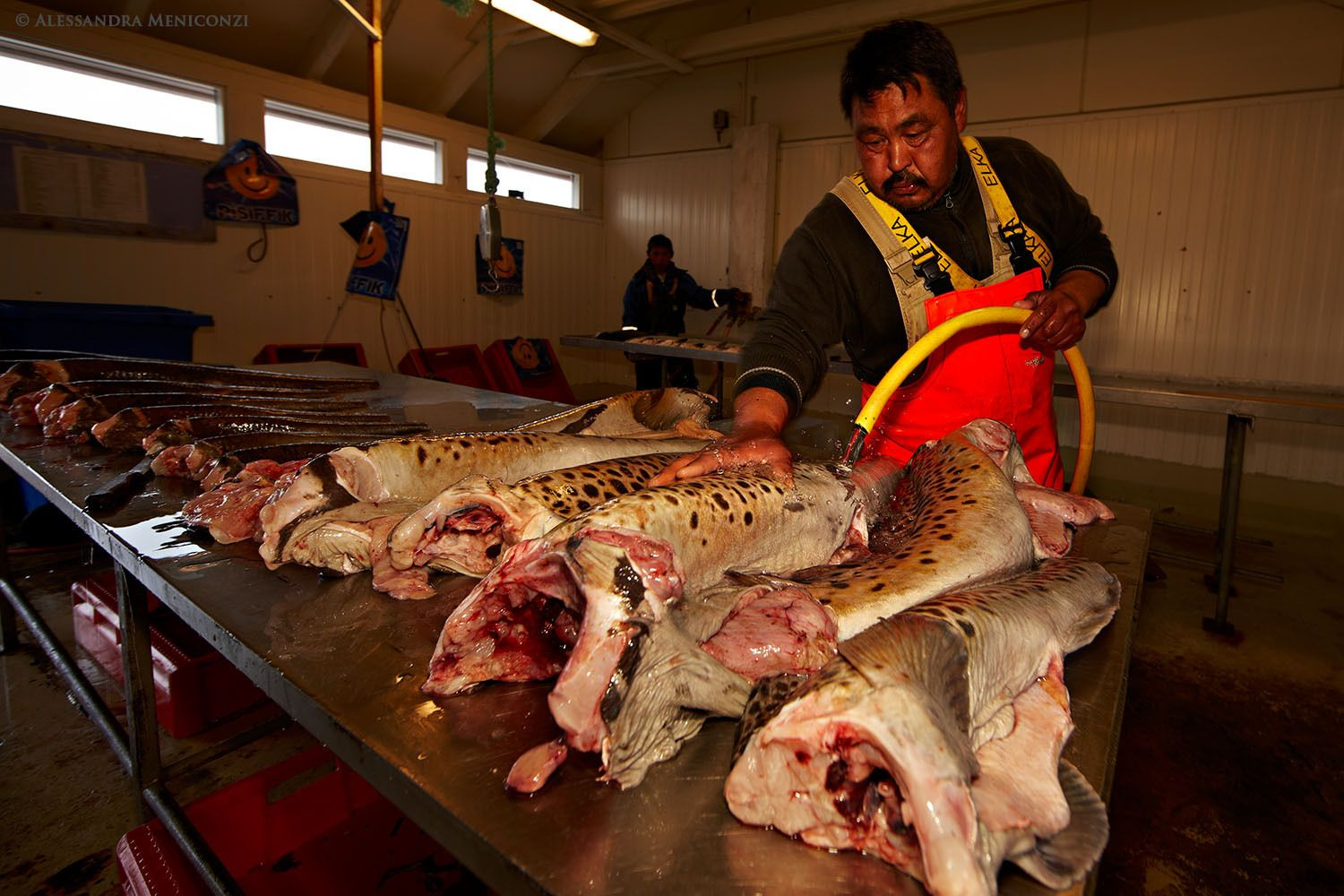 Spotted wolffish and other freshly-caught fish being cleaned and prepared for sale at a fish market in Qaqortoq Village, South Greenland.