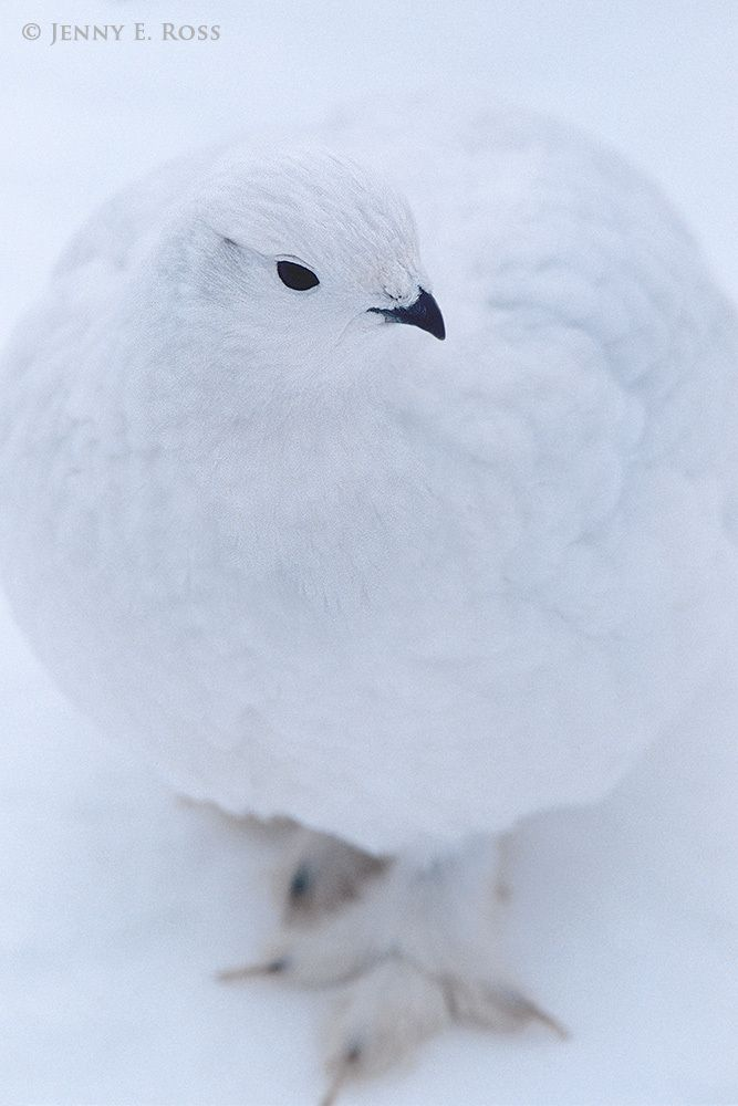 A Rock Ptarmigan (Lagopus muta) in winter plumage is well-camouflaged against the snowy ground.