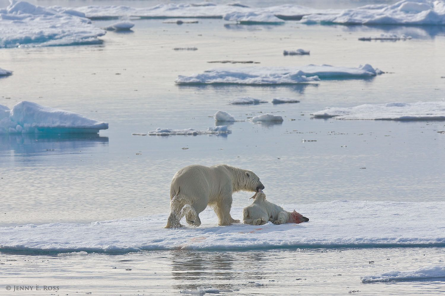 Polar bear infanticide and cannibalism on sea ice, Barents Sea, Svalbard Archipelgo, Norway.