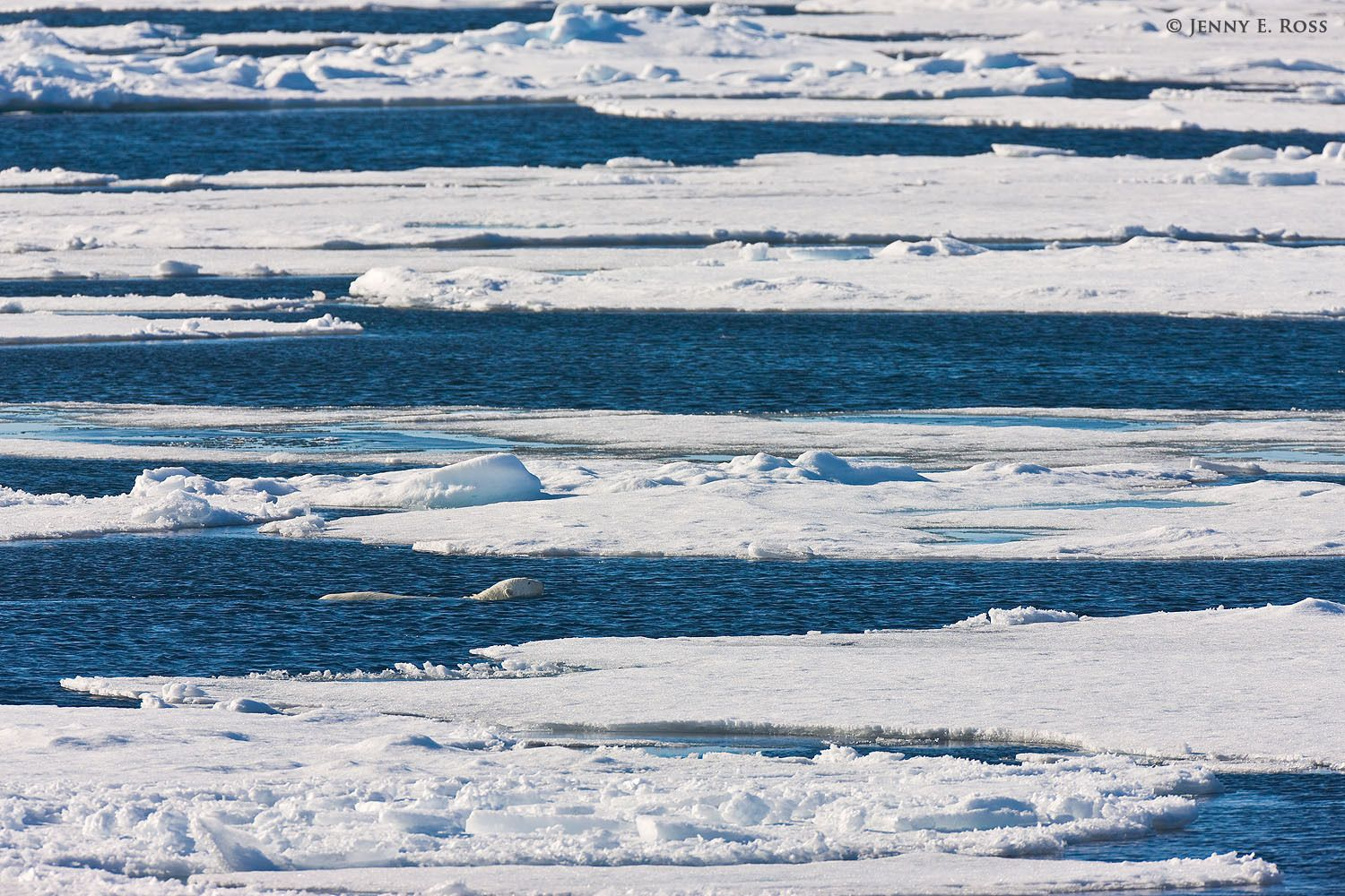 Adult polar bear (Ursus maritimus) swimming in an open lead between floes of sea ice.