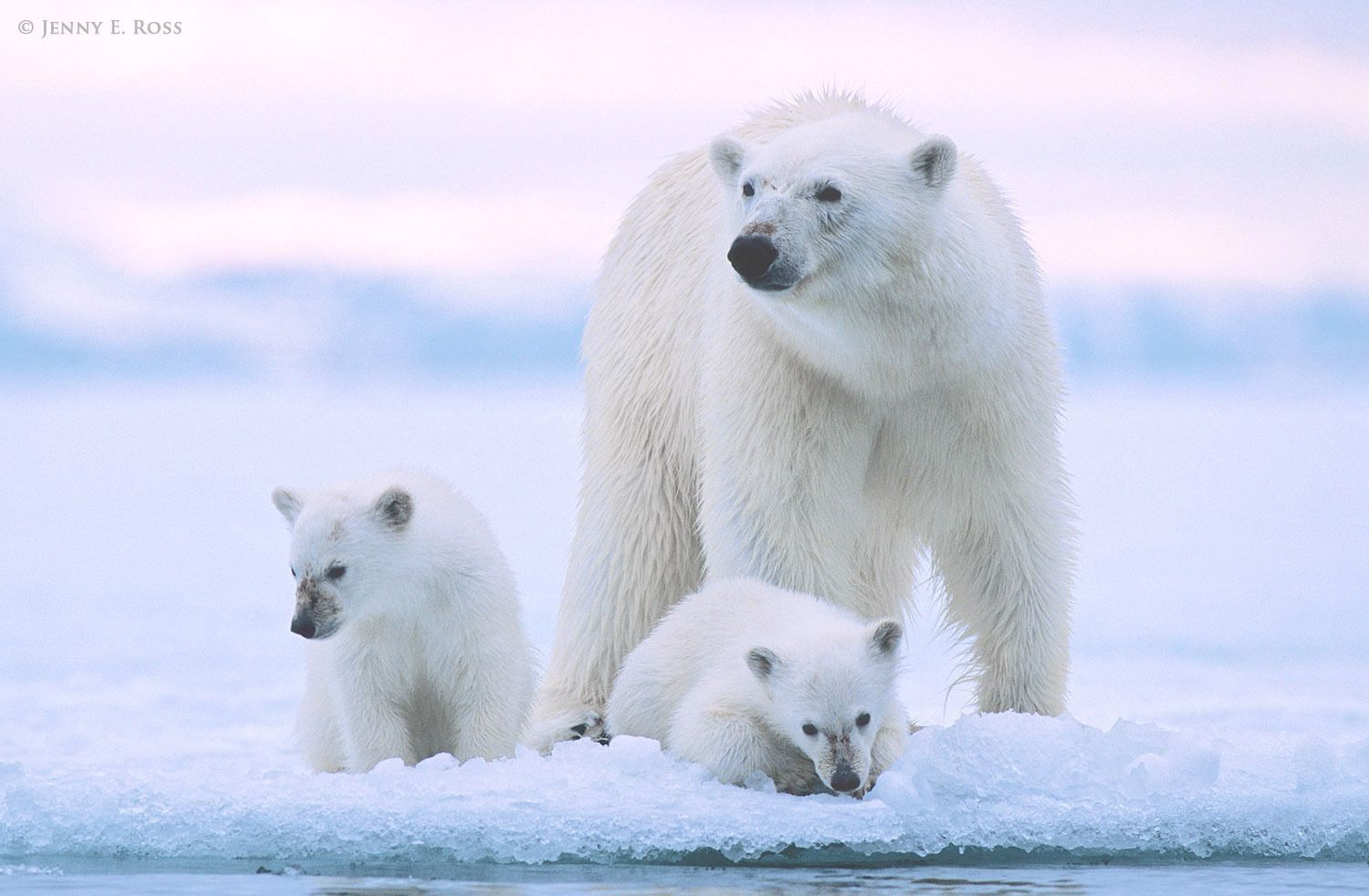 A mother polar bear and her twin cubs (about 6 months old) at the edge of sea ice in a fjord.