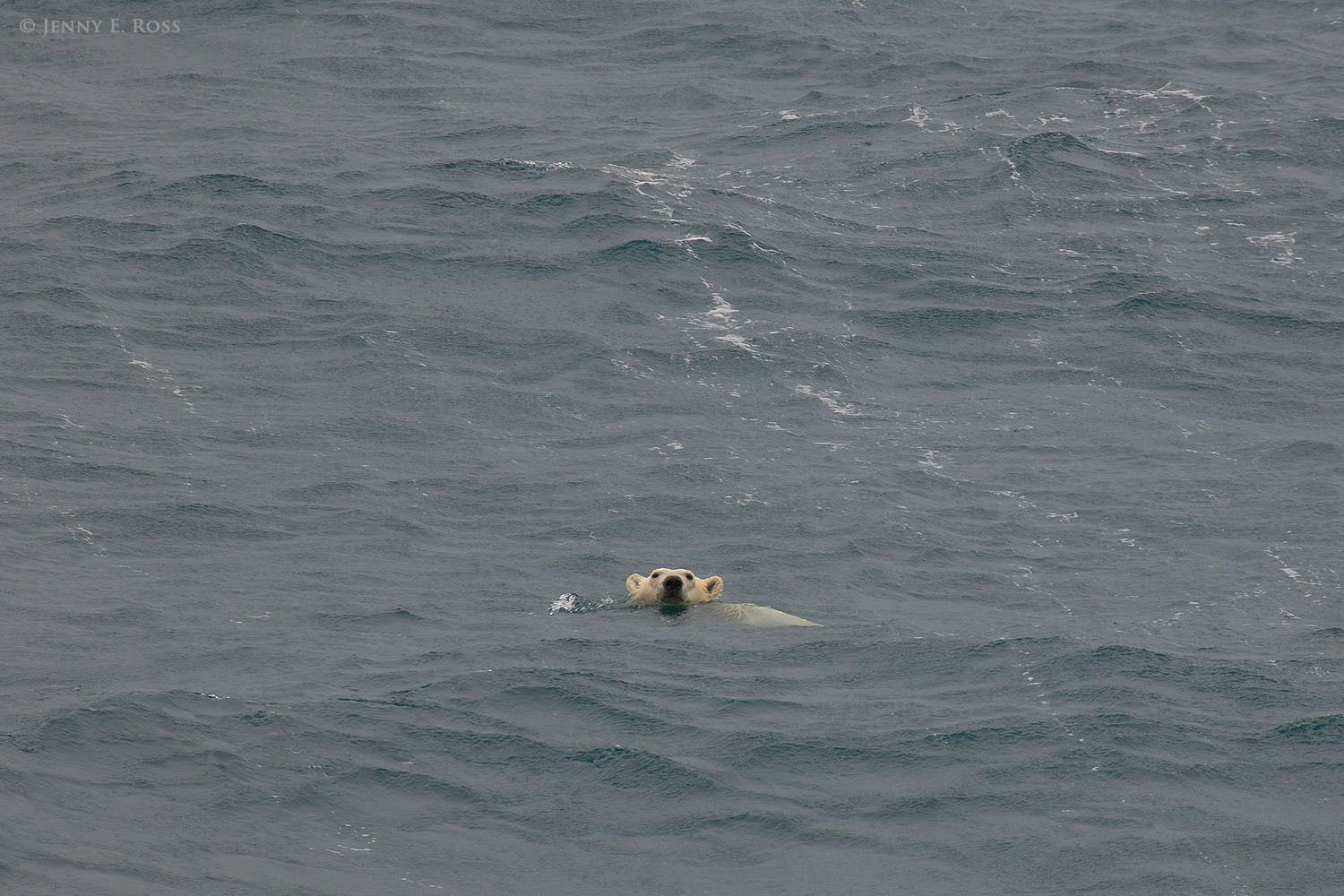 An adult female polar bear swimming in the Chukchi Sea, far from land and even farther from the nearest sea ice. The ice had melted and receded toward the central polar basin, hundreds of kilometers away.