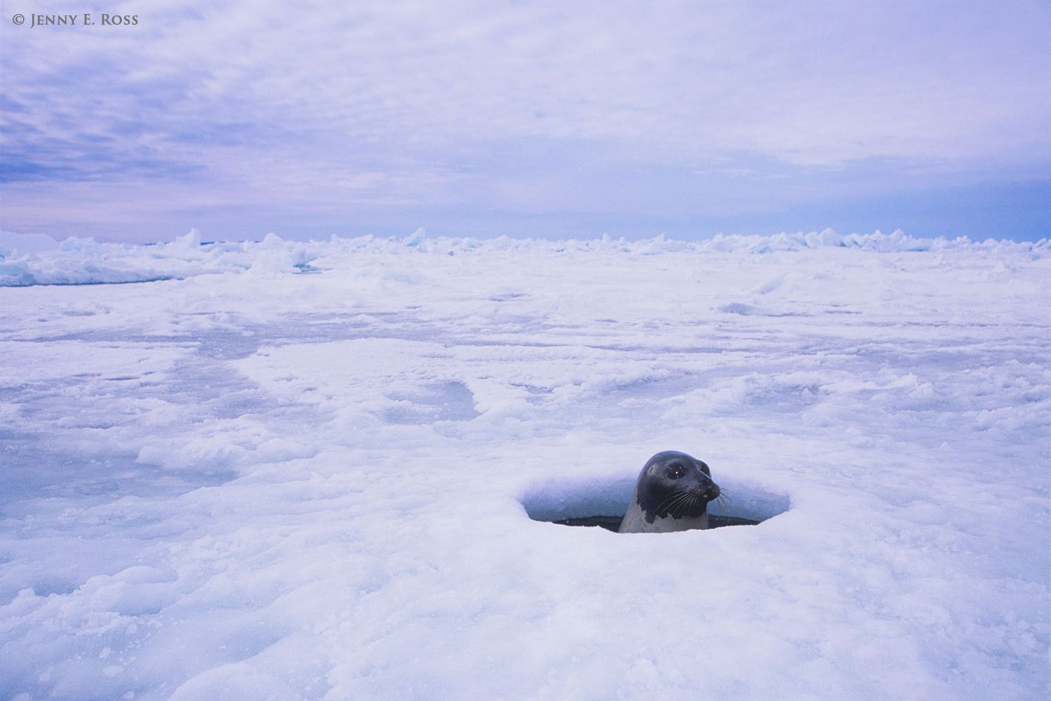 An adult female Harp Seal (Pagophilus groenlandicus) surfaces in a breathing hole she has maintained in the floating pack ice of the Gulf of St. Lawrence, near where her young pup is resting on the ice.