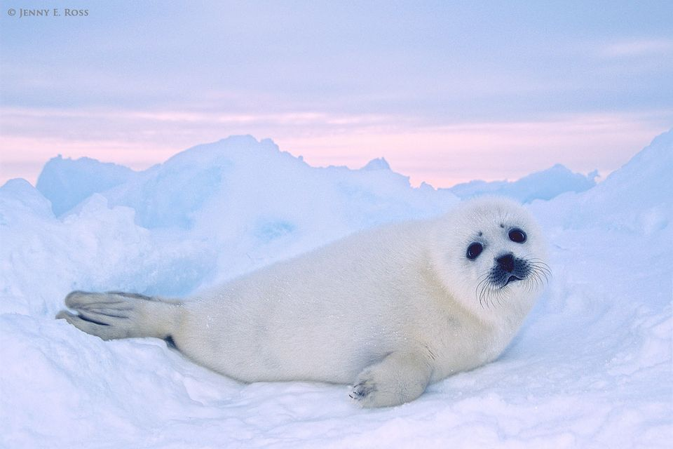 A young harp seal pup (Pagophilus groenlandicus) rests on the sea ice where it was born. The pup is less than two weeks old.