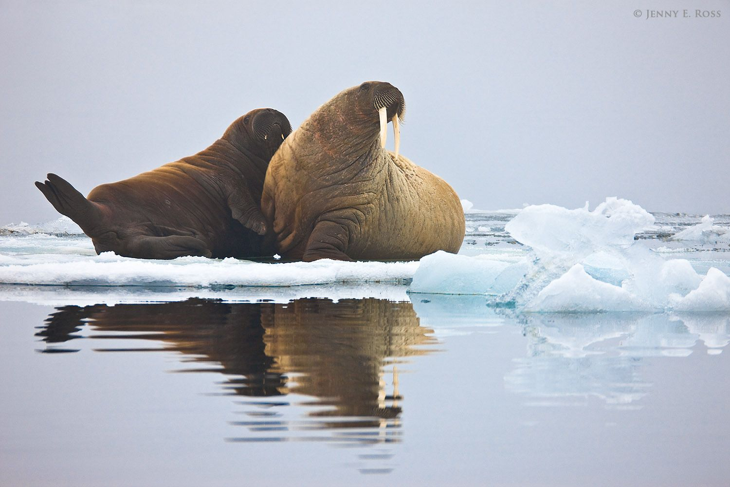 An Atlantic Walrus (Odobenus rosmarus rosmarus) mother and calf rest on sea ice in the Barents Sea (Arctic Ocean) near Stoliczka Island in Franz Josef Land, Russia.