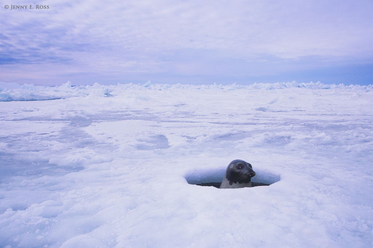 Harp seal surfacing in a breathing hole, Gulf of St. Lawrence, Nova Scotia, Canada.