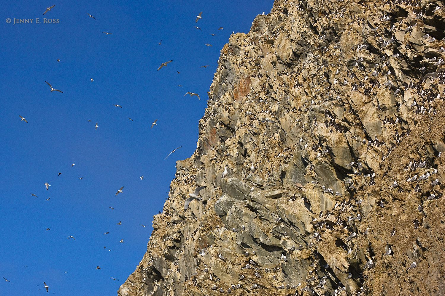 Seabirds flying and nesting at cliffside colony, Wrangel Island, Russia