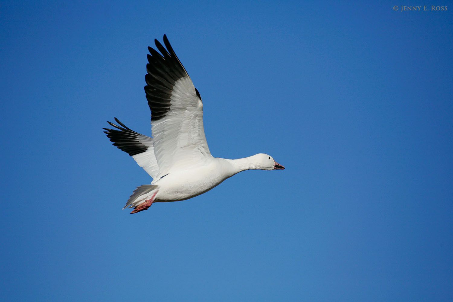An adult snow goose (Chen caerulescens) flying over the tundra on Wrangel Island in the East Siberian Sea (Arctic Ocean), Russia.