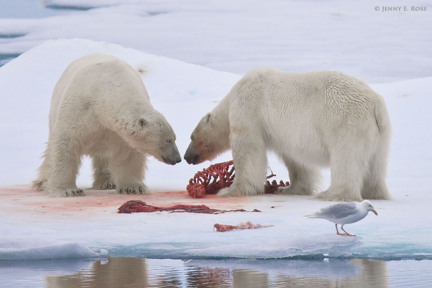 Two large, mature adult male polar bears (Ursus maritimus) confront one another on the sea ice at a seal kill site. Arctic Ocean north of the Svalbard Archipelago, near 81-degrees North.