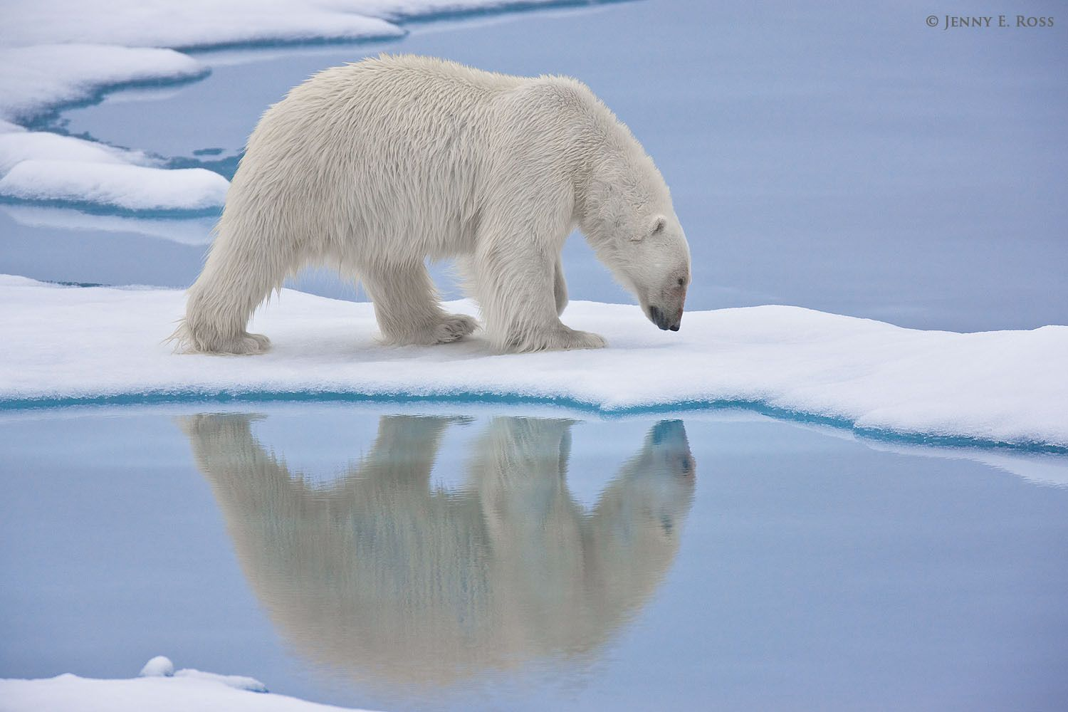 Adult male polar bear (Ursus maritimus) following a scent on the sea ice.