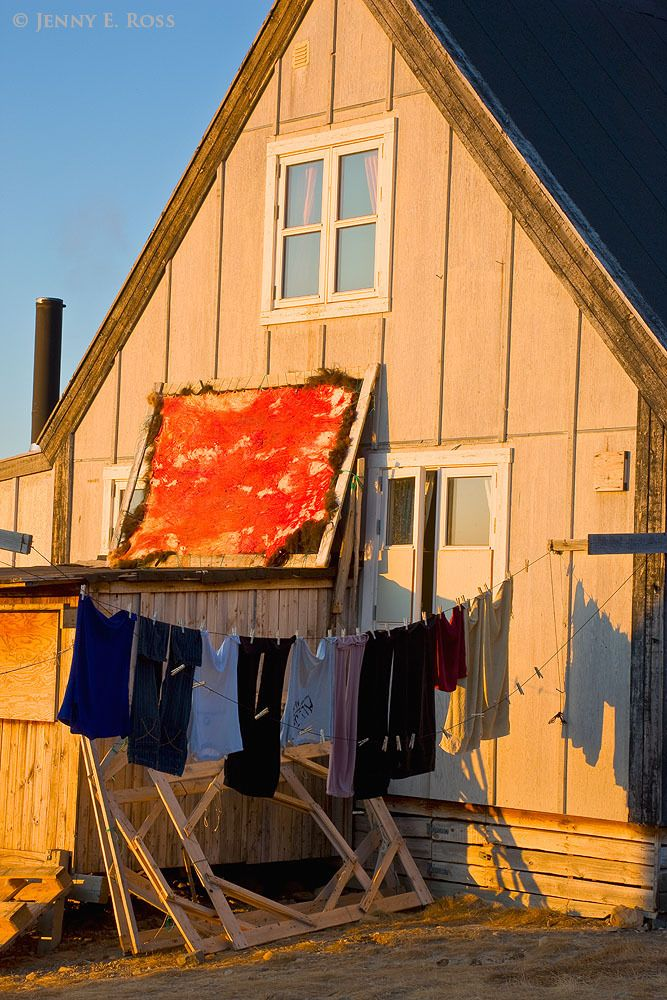 A musk ox (Ovibos moschatus) pelt, stretched on a wood frame, drying in the sun outside the house of an Inuit hunter in Qaanaaq, Northwest Greenland.