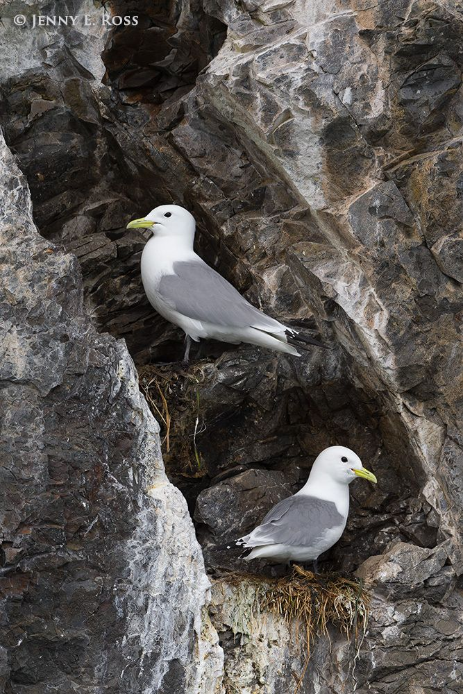 Black-legged kittiwakes (Rissa tridactyla) at their nests on a cliff above the ocean, Prince William Sound, Alaska.