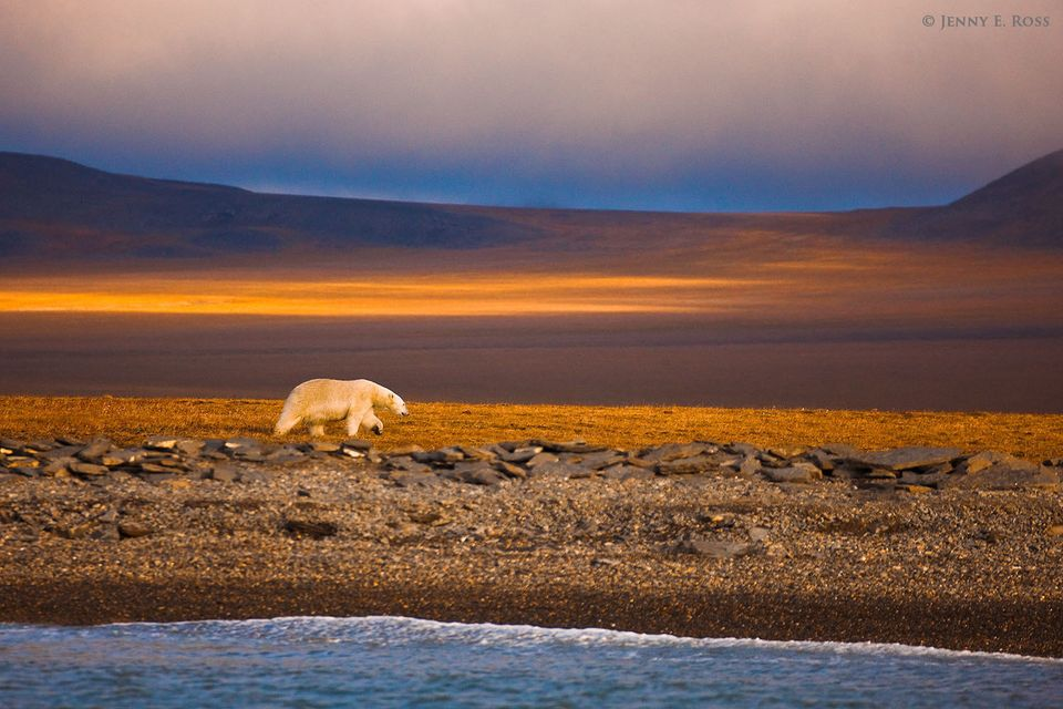 An adult male polar bear wanders along the ice-free shoreline of Wrangel Island in the Russian High Arctic, stranded there due to lack of sea ice.