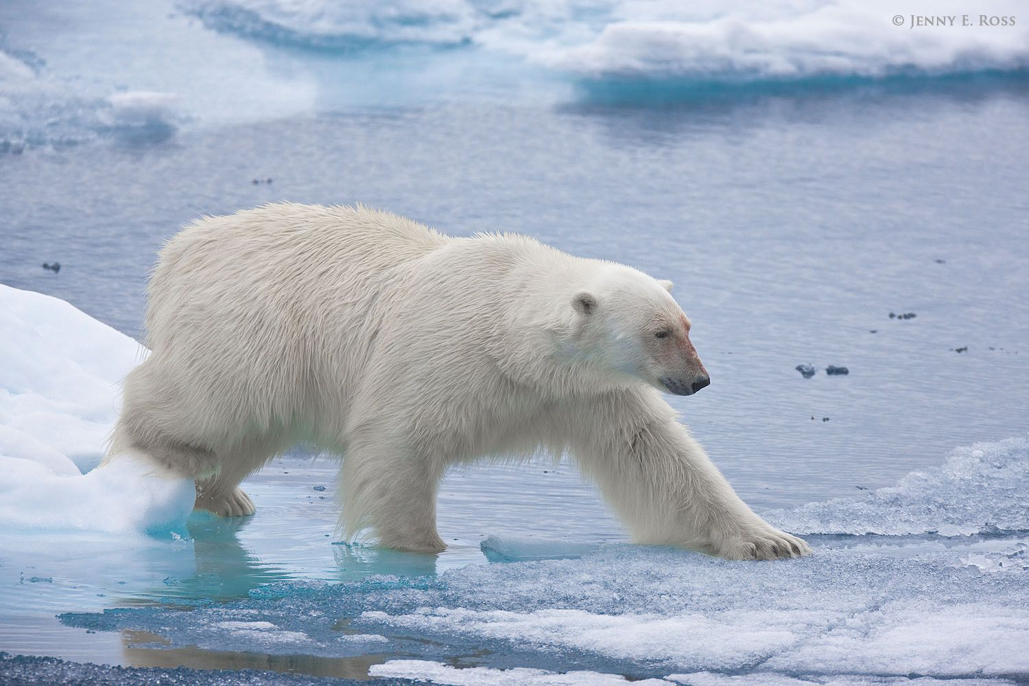 While traveling on melting summer sea ice, an adult male polar bear (Ursus maritimus) carefully presses on very thin ice to see if it will hold his weight.