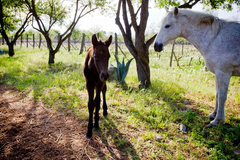 Horses in Biodynamic Vineyard, Chile Photographed by john Wagner