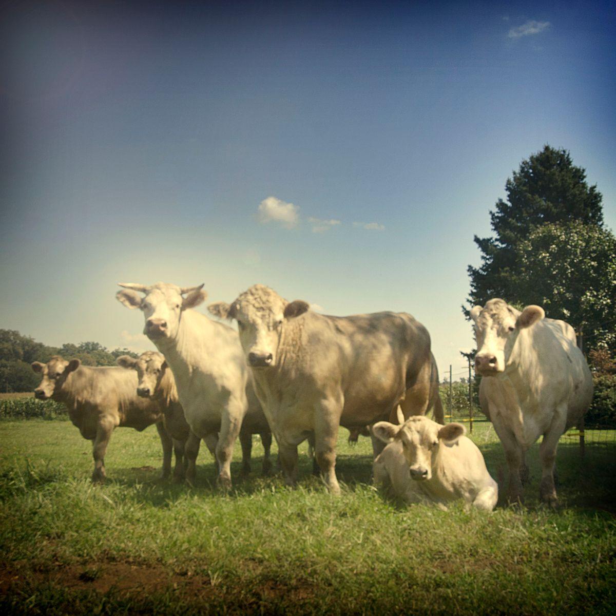 John Walz -Cows white-4.jpg