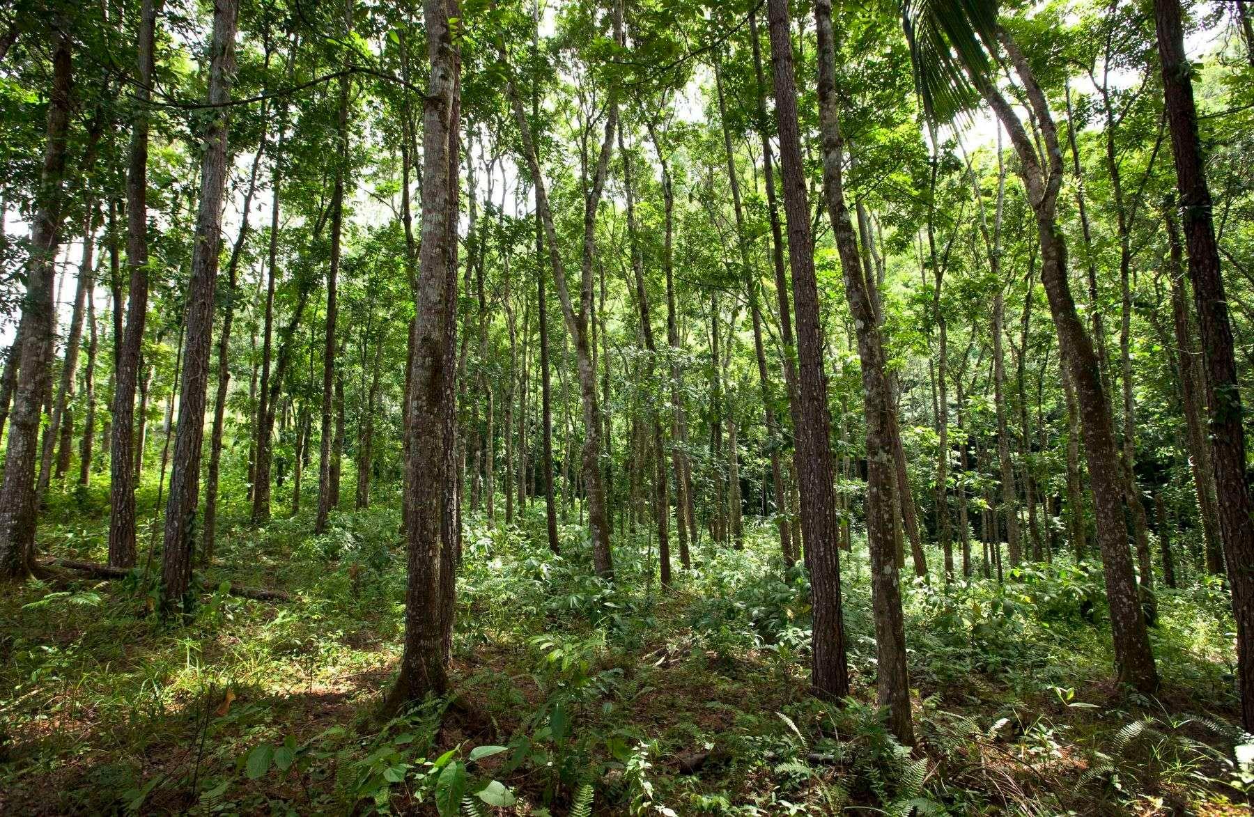 Mahogany Orchard
