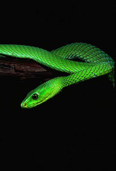 Green Mambe