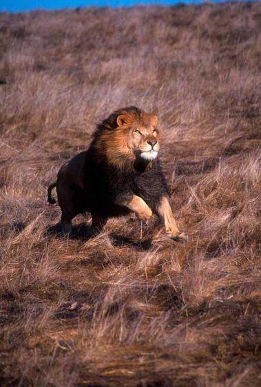 1running_lion0a.jpg