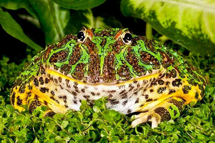 1ornatehornfrog01.jpg