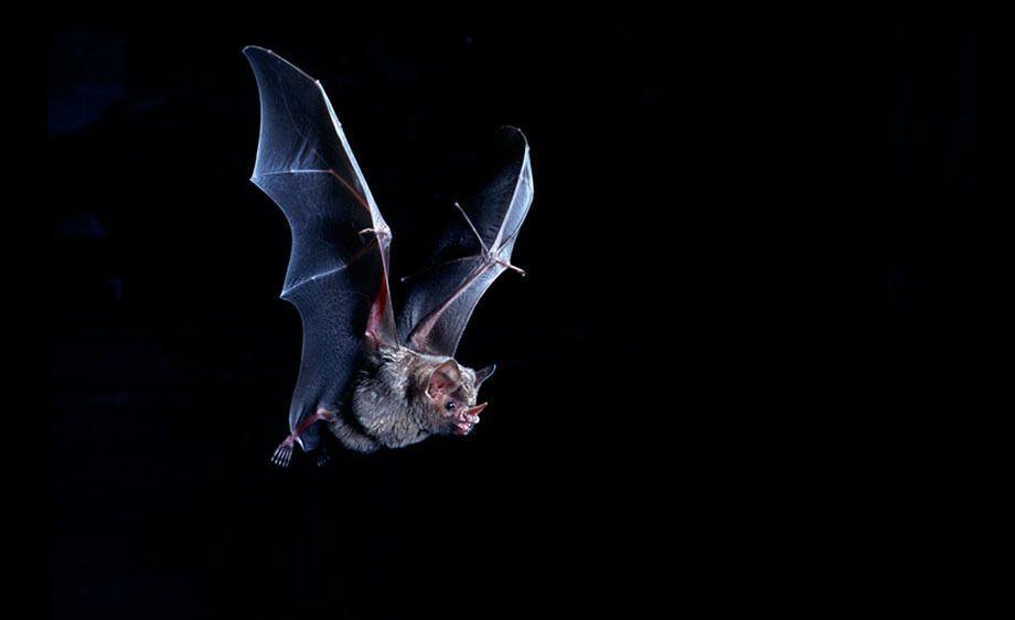 Leaf-Nosed Fruit Bat