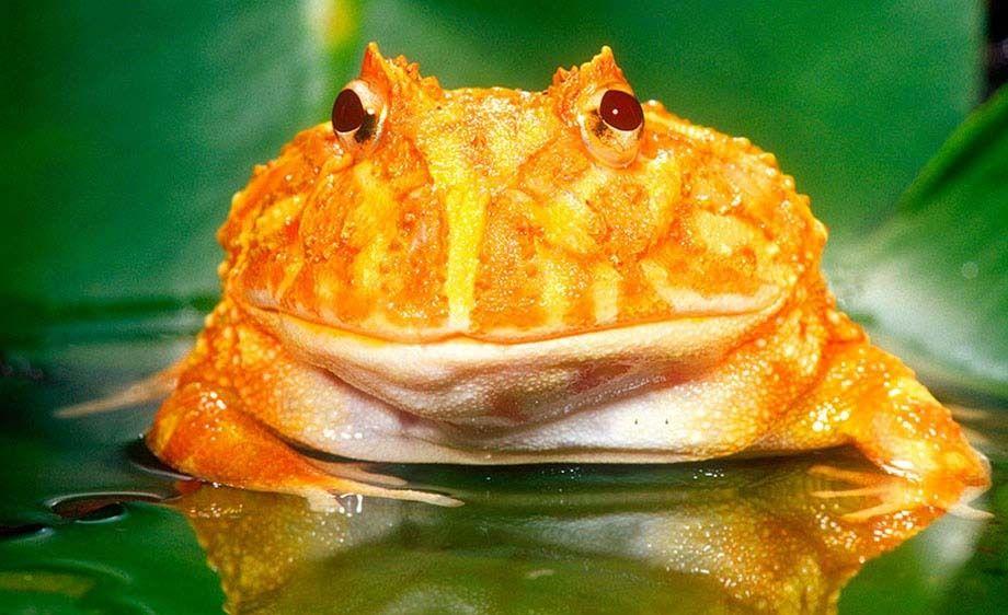 Ornate Horn Frog Albino