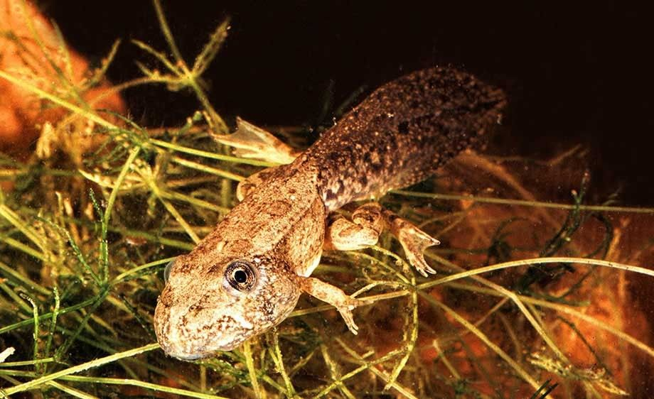 American Bull Frog Tadpole